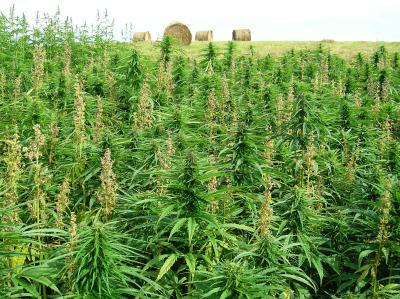 cannabis field1